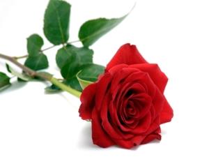 bunga mawarku